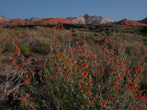 Globemallow in Snow Canyon State Park. Maria Werner/Utah State Parks
