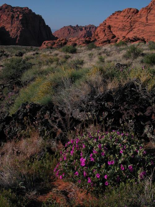 Desert 4 O'clocks in Snow Canyon State Park. Maria Werner/Utah State Parks