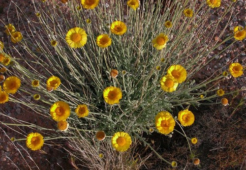 Desert marigold  in Snow Canyon State Park. Maria Werner/Utah State Parks