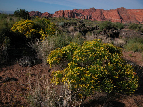 Broom snakeweed in Snow Canyon State Park Maria Werner/Utah State Parks