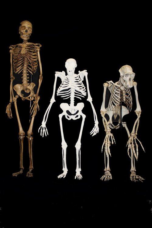 This undated image provided by Lee R. Berger and the University of the Witwatersrand shows a reconstruction of the skeleton of Australopithecus sediba, center, next to a small-bodied modern human female, left,  and a male chimpanzee. The newly-studied species lived some 2 million years ago, and it both climbed in trees and walked upright. Scientists are getting a more comprehensive look at the extinct South African creature with an intriguing mix of human-like and primitive traits, but scientists say they still haven't pinned down where it fits on our evolutionary family tree. Results were published in the journal Science on Thursday, April 11, 2013. (AP Photo/University of the Witwatersrand, Lee R. Berger)