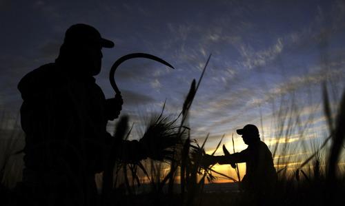 Palestinian farmers harvest wheat on a farm near the West Bank city of Jenin early Monday, April 15, 2013. (AP Photo/Mohammed Ballas).