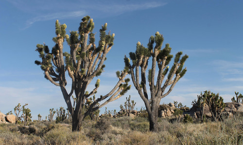 In this April 6, 2013 photo, a Joshua Trees are in bloom  in the Cima Dome area of the Mojave Nationan Preserve, Calif. Millions of the trees have been bursting into bundles of greenish-white flowers in California, Arizona, Nevada and Utah. Just about every tree has bloomed this spring when usually far fewer do and they produce fewer flowers, biologists said.  (AP Photo/The Press-Enterprise, David Danelski)