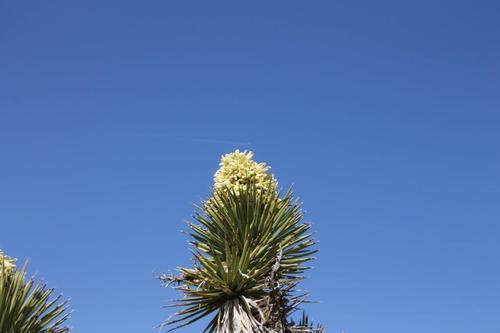 Ron Olroyd   Courtesy  In what biologists are calling a rare event, Joshua Trees all over the West -- including these southwest of Ivins in Utah -- are blooming this spring. Biologists say just about every tree is blooming this year, when usually far fewer do.