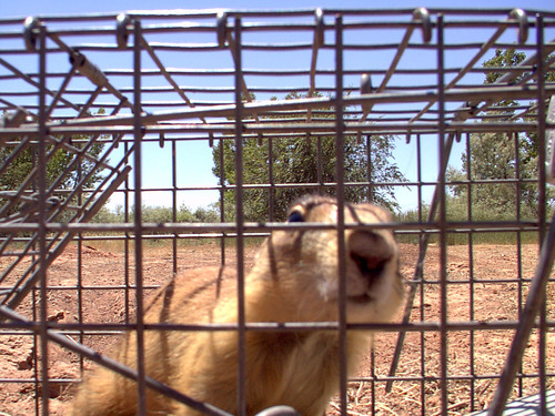 A federal lawsuit filed Thursday targets new federal rules that restrict the removal from private land of Utah prairie dogs, like this one seen trapped for relocation in Iron County. Courtesy Division of Wildlife Resources