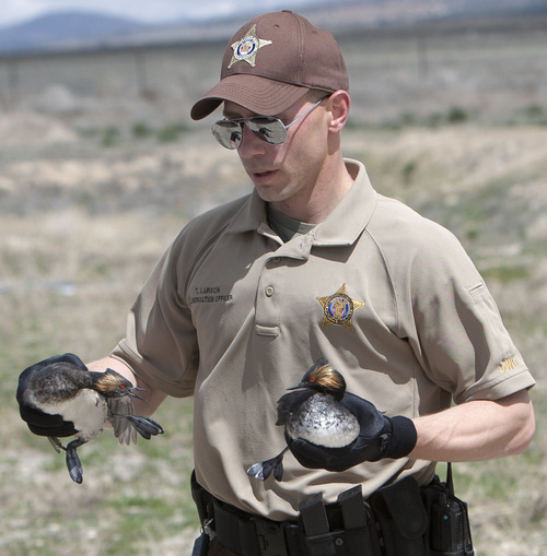 Steve Griffin   The Salt Lake Tribune  DWR conservation officer Tate Larson collects eared grebes after storms forced the birds to land on the ground near Dugway, Utah Monday April 15, 2013. Hundreds of the birds crash landed on the ground killing many of them. The birds need water to take off and fly so they were being collected and released in nearby ponds.