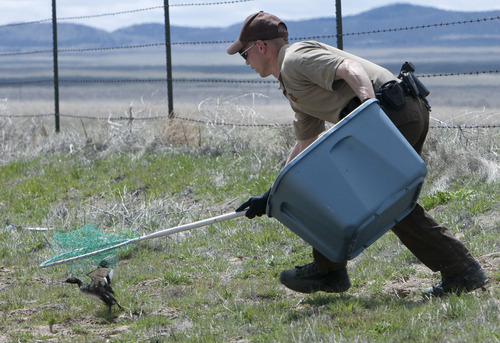 Steve Griffin   The Salt Lake Tribune  DWR conservation officer Tate Larson uses a net to collect eared grebes after storms forced the birds to land on the ground near Dugway, Utah Monday April 15, 2013. Hundreds of the birds crash landed on the ground killing many of them. The birds need water to take off and fly so they were being collected and released in nearby ponds.