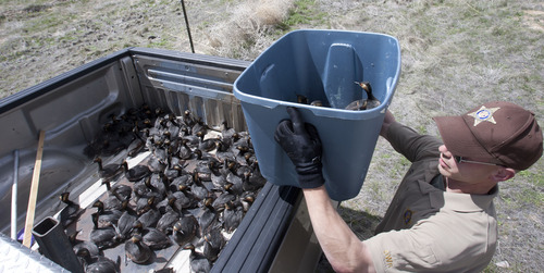 Steve Griffin   The Salt Lake Tribune  DWR conservation officer Tate Larson places eared grebes  in the back of his truck after storms forced the birds to land on the ground near Dugway, Utah Monday April 15, 2013. Hundreds of the birds crash landed on the ground killing many of them. The birds need water to take off and fly so they were being collected and released in nearby ponds.