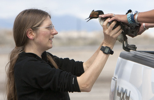 Steve Griffin   The Salt Lake Tribune  Christina Rockwell, left, and Kristina Mitchell, of the Boise State raptor research center, collect eared grebes after storms forced the birds to land on the ground near Dugway, Utah Monday April 15, 2013. Hundreds of the birds crash landed on the ground killing many of them. The birds need water to take off and fly so they were being collected and released in nearby ponds. Rockwell and here co-worker helped DWR workers gather the birds.