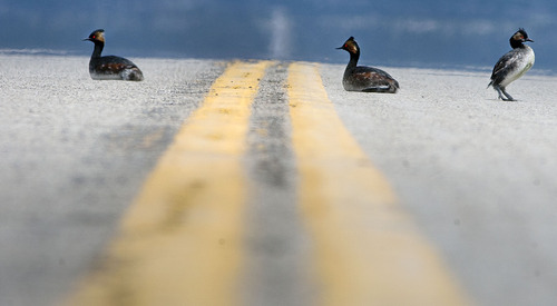 Steve Griffin   The Salt Lake Tribune  Eared grebes rest in the middle of the road outside the gates of Dugway, Utah after storms forced the birds to land on the ground Monday April 15, 2013. Hundreds of the birds crash landed on the ground killing many of them. The birds need water to take off and fly so they were being collected and released in nearby ponds. Rockwell and here co-worker Kristina Mitchell helped DWR workers gather the birds.