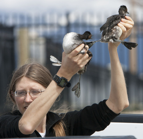 Steve Griffin   The Salt Lake Tribune  Christina Rockwell, of the Boise State raptor research center, collects eared grebes after storms forced the birds to land on the ground near Dugway, Utah Monday April 15, 2013. Hundreds of the birds crash landed on the ground killing many of them. The birds need water to take off and fly so they were being collected and released in nearby ponds. Rockwell and here co-worker Kristina Mitchell helped DWR workers gather the birds.