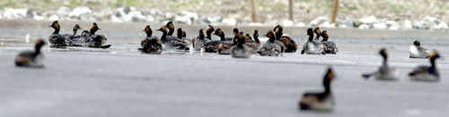 Steve Griffin | The Salt Lake Tribune  Eared grebes rest in the parking lot of church outside the gates of Dugway, Utah after storms forced the birds to land on the ground Monday April 15, 2013. Hundreds of the birds crash landed on the ground killing many of them. The birds need water to take off and fly so they were being collected and released in nearby ponds. Rockwell and here co-worker Kristina Mitchell helped DWR workers gather the birds.