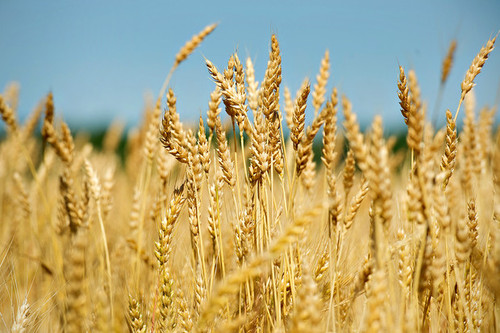 Farmers in the U.S., the world's biggest exporter, probably will abandon 25 percent of their hard, red winter wheat, the most common variety grown, according to the average of 11 analyst estimates compiled by Bloomberg. (Daniel Acker, Bloomberg)