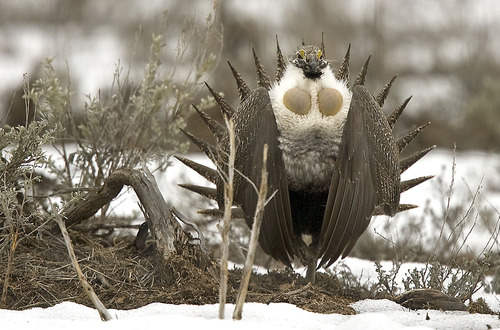 Al Hartmann  |  Tribune file photo  A male sage grouse does his showy strut to females just off Highway 65 south of Henefer. The governor's office on Wednesday released a long-awaited conservation plan for the birds.