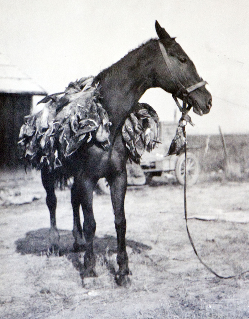 (Utah State Historical Society)  A horse carrying ducks, date unknown.