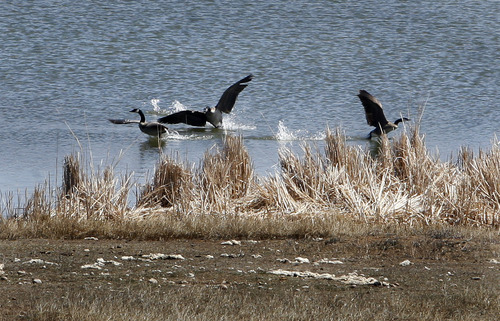 Scott Sommerdorf   |  The Salt Lake Tribune Canada Geese frolic in the lake inside the Wyoming Downs race track near Evanston, Thursday, April 25, 2013. The track has been dormant for 4-5 years, but brothers Eric and Paul Nelson are working to bring it back to life.