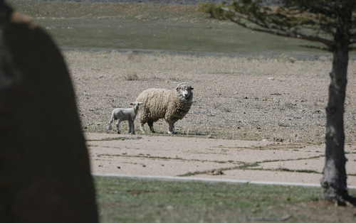 Scott Sommerdorf   |  The Salt Lake Tribune A baby lamb follows it's mother near the entrance to Wyoming Downs race track, Thursday, April 25, 2013. The track has been dormant for 4-5 years, but brothers Eric and Paul Nelson are working to bring it back to life.