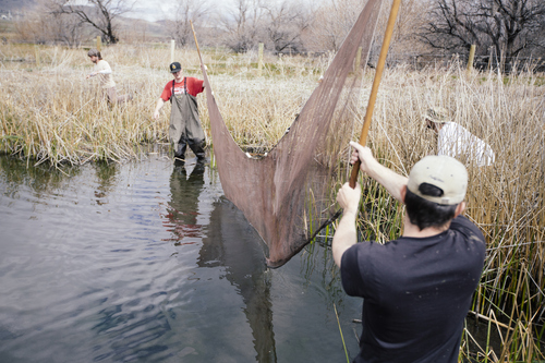 Jac Scott | Utah Valley University  Jacob Orr, left, and Joe Schellenberg use a seine to gather fish to survey in order to monitor native species and remove invasive species while participating in a habitat restoration project at Mona Springs, Juab County April 20th 2013. In the background are, left, Mark Grover, Native Aquatics Biologist with Utah DWR and Seth Wolfe.