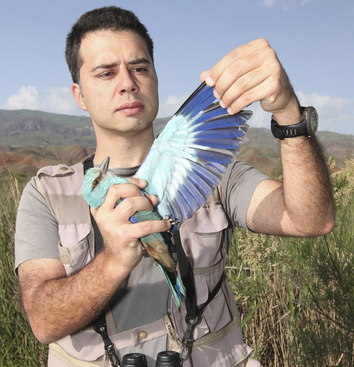 University of Utah assistant professor Cagan Sekercioglu releases a Eurasian roller after banding it at Turkey's Aras River wetlands. Courtesy University of Utah