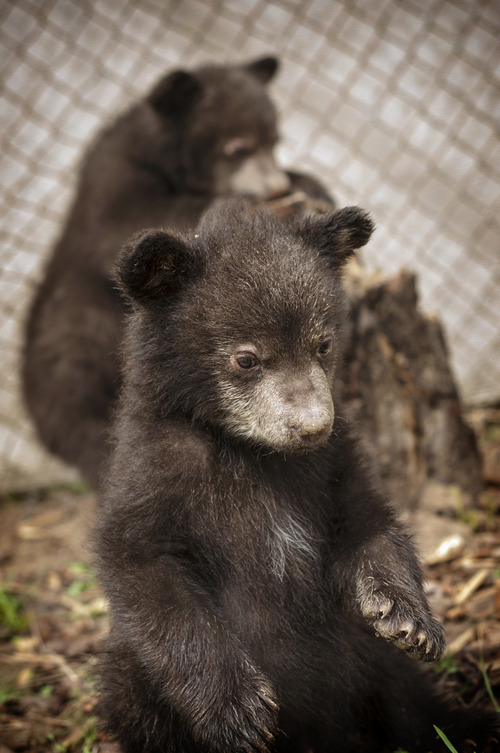 Orphaned black bear cubs Koda and Whiskey are being cared for at Great Basin Wildlife Rescue in Springville. Courtesy Patti Richards