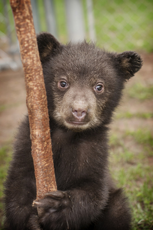 Courtesy Patti Richards Orphaned black bear cub Whiskey, and his brother Koda, are being cared for at Great Basin Wildlife Rescue in Springville.