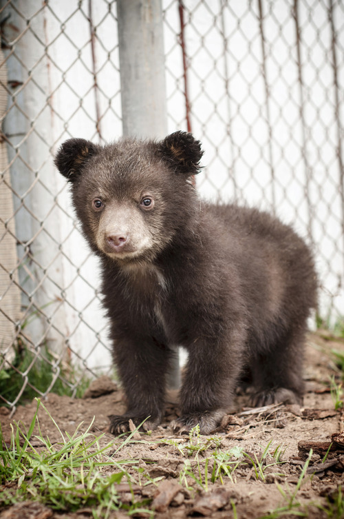 Orphaned black bear cub Koda and his brother, Whiskey, are being cared for at Great Basin Wildlife Rescue in Springville. Courtesy Patti Richards