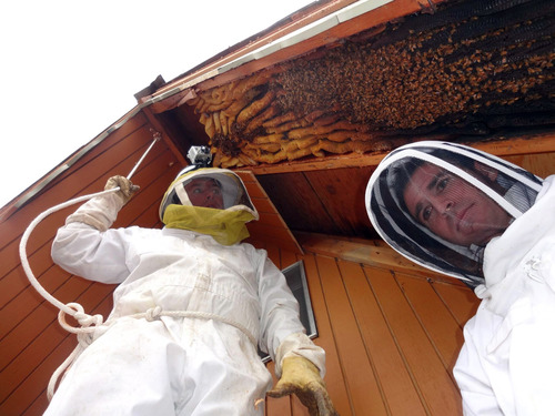 Ogden beekeeper Vic Bachman, left, and partner Nate Hall prepare to remove a 12-foot-long beehive from an A-frame cabin in Eden, Utah, in early April. It was the biggest beehive the Utah beekeepers have ever removed, containing about 60,000 honeybees. Courtesy of Vic Bachman via AP