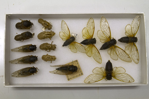 A box of preserved cicadas, including emerging insects and molted exoskeletons, in storage at the Smithsonian Institution's Museum Support Center in Camp Springs, Md. on Tuesday, April 23, 2013. A brood of cicadas are expected to emerge this spring in the Washington area. (AP Photo/Jacquelyn Martin)