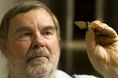 Gary Hevel, a research collaborator with the Dept. of Entomology at the National Museum of Natural History, holds up a preserved cicadas, a brood of which are expected to emerge this spring in the Washington area, at the Smithsonian Institution's Museum Support Center in Camp Springs, Md. on Tuesday, April 23, 2013. (AP Photo/Jacquelyn Martin)
