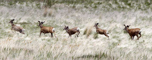 Al Hartmann  |  Tribune file photo The Utah Wildlife Board has approved new numbers for 2013 hunting permits. Some permit numbers increased, but others decreased.