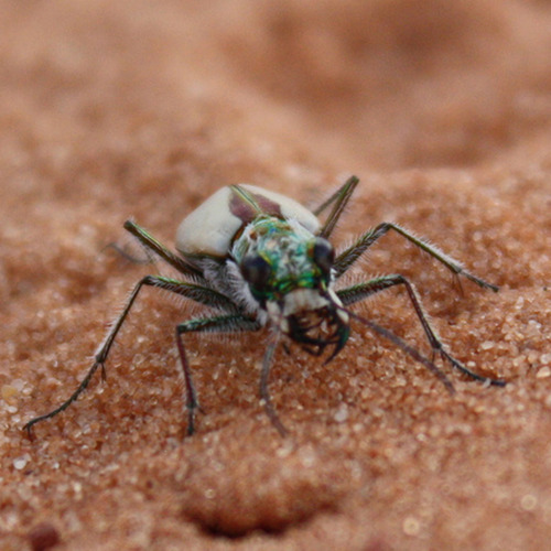 Courtesy USFWS The U.S. Fish and Wildlife Service has proposed listing the Coral Pink Sand Dunes tiger beetle as threatened, under the Endangered Species Act. The only place the Coral Pink Sand Dunes Tiger Beetle is found is near the sand dunes on the Utah-Arizona border west of Kanab in Kane County.