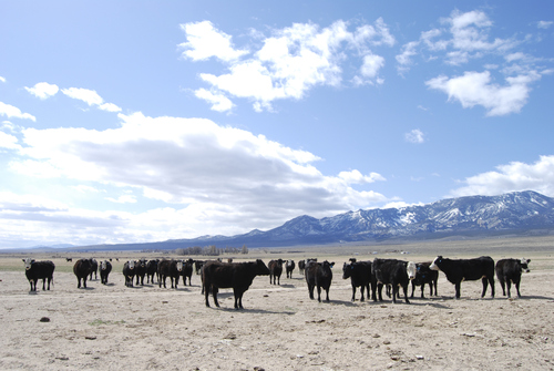 Brian Maffly | The Salt Lake Tribune  Cattle gather in Snake Valley near the Utah-Nevada state line.