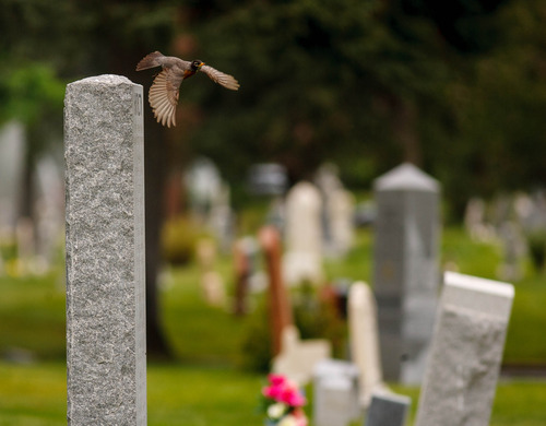 Trent Nelson     The Salt Lake Tribune A robin darts from a grave marker at the Salt Lake City Cemetery, Friday May 17, 2013.