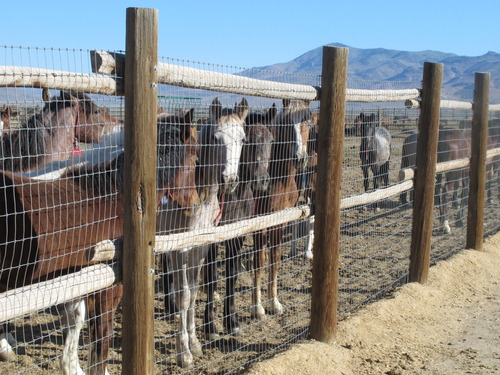 Horses stand behind a fence at the BLM Palomino Valley holding facility on Wednesday, June 5, 2013 in Palomino Valley, Nev.   A scathing independent scientific review of wild horse roundups in the West concludes the U.S. government should likely instead let nature cull the herds. A 14-member panel assembled by the National Science Academy's National Research Council, at the request of the Bureau of Land Management, concluded BLM's removal of nearly 100,000 horses from the Western range over the past decade is probably having the opposite effect of its intention to ease ecological damage and reduce overpopulated herds. (AP Photo/Scott Sonner)