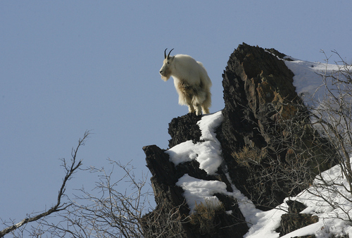 Scott Sommerdorf      Tribune file photo A mountain goat forages for food on a rocky cliff up Big Cottonwood Canyon in February. A Division of Wildlife Resources proposal to expand the relocation of mountain goats in Utah is meeting with some opposition.