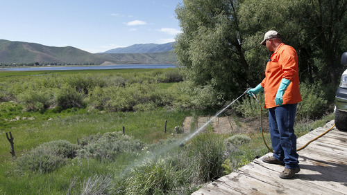 Al Hartmann  |  The Salt Lake Tribune Quintin Lewis, weed supervisor for Wasatch County, sprays for invasive weeds like leafy spurge and several others from a specially fitted rail car on the Heber Valley Railroad as part of efforts to control invasive weeds statewide. The area being sprayed is near Soldier Hollow and the north end of Deer Creek Reservoir.