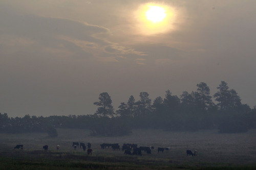 Cows graze beneath a smoky haze from the Black Forest wildfire, north of Colorado Springs, Colo., on Thursday, June 13, 2013. According to officials, at least 360 homes have been burned, and at least 38,000 people have been evacuated since the fire began earlier in the week. (AP Photo/Brennan Linsley)