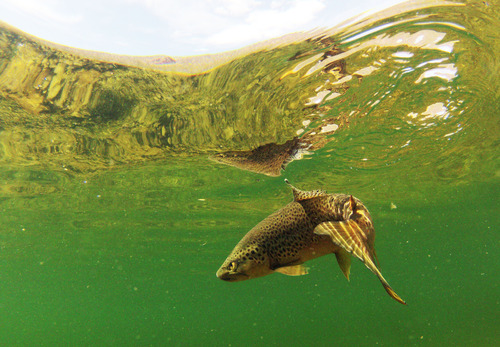 Francisco Kjolseth  |  The Salt Lake Tribune A brown trout swims just below the surface of the emerald green waters that define the A section of the Green River, from Flaming Gorge Dam to Little Hole, during a recent river float in April of 2013.