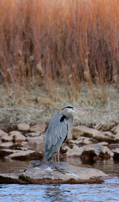 Francisco Kjolseth     The Salt Lake Tribune A great blue heron surprisingly maintains its ground as the sun begins to set along the shores of the B section on the Green River, from Little Hole to Indian Crossing.