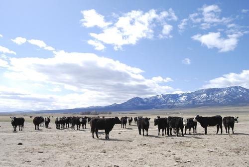Brian Maffly | The Salt Lake Tribune  Cattle gather in Snake Valley near the Utah-Nevada state line.