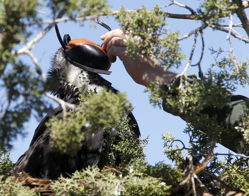 Al Hartmann  |  The Salt Lake Tribune HawkWatch field technician Eric Chabot carefully places a hood over the head of one of two juvenile golden eagles in a nest in the top of a juniper tree near Yuba Reservoir. The hood calms the bird, enabling the team to bring it down from the nest, weigh and place GPS telemetry units on the birds.