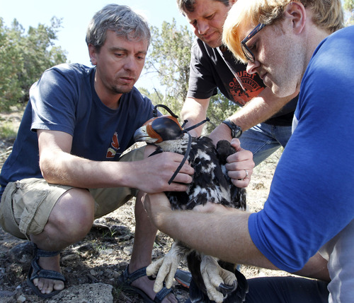 Al Hartmann  |  The Salt Lake Tribune HawkWatch team of Steve Slater, left, Shawn Hawks and Eric Chabot work together holding a juvenile golden eagle and fitting a solar GPS telemetry device onto its back. The device weighs 45 grams or about 1.5 ounces.