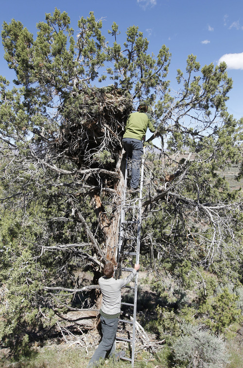 Al Hartmann  |  The Salt Lake Tribune HawkWatch field technicians Dave Buchanon, bottom, and Eric Chabot, on ladder, climb up to this unusual golden eagle nest built in the top of a juniper tree near Yuba Reservoir. Two juveniles are in the nest but not ready to fly. The team will capture, weigh and place GPS telemetry units on the pair then return them to their nest. The new units will be providing more location data on golden eagles than has ever been collected. HawkWatch International is placing 22 telemetry units on golden eagles in Utah.