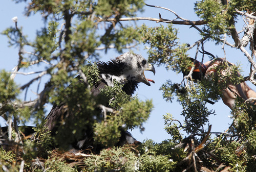 Al Hartmann  |  The Salt Lake Tribune HawkWatch field technician Eric Chabot slowly moves a hood toward one of two juvenile golden eagles in a nest in the top of a juniper tree near Yuba Reservoir. Two juveniles are in the nest but not ready to fly. The team will capture, weigh and place GPS telemetry units on the pair then return them to their nest.