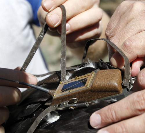 Al Hartmann  |  The Salt Lake Tribune A HawkWatch team fits a solar-powered GPS telemetry device onto a juvenile golden eagle's back. The device weighs 45 grams or about 1.5 ounces.