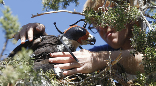 Al Hartmann  |  The Salt Lake Tribune HawkWatch field technician Eric Chabot places a juvenile golden eagle back in his nest in the top of a juniper tree near Yuba Reservoir after fitting it with a solar-powered GPS telemetry device.