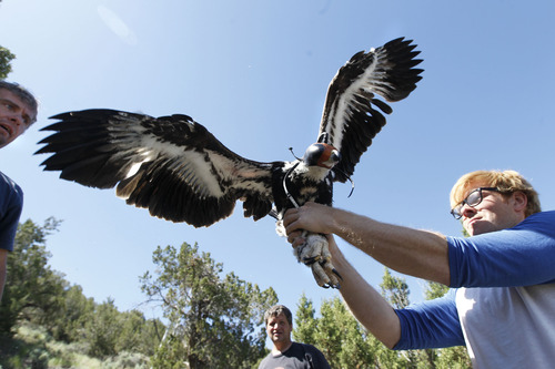 Al Hartmann  |  The Salt Lake Tribune A juvenile golden eagle  flaps it wings after having a solar-powered GPS telemetry unit fitted onto its back. HawkWatch International's Steve Slater, left, and Shawn Hawks dodge the flapping wings and Eric Chabot holds on tight. The bird quickly settled down and was placed back in his nest in a juniper tree.