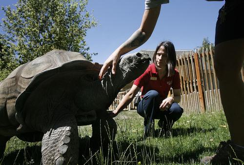 Scott Sommerdorf   |  The Salt Lake Tribune Dr. Erika Crook examines Kronk, an Aldabra tortoise at Hogle Zoo, Thursday, June 20, 2013.