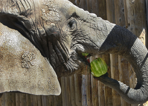 Scott Sommerdorf   |  The Salt Lake Tribune Dari, the oldest elephant at Hogle Zoo, eats a watermelon like it was a grape, Thursday, June 20, 2013.
