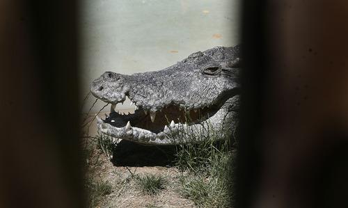 Scott Sommerdorf   |  The Salt Lake Tribune Bill the Siamese crocodile basks in the sun at Hogle Zoo, Thursday, June 20, 2013.